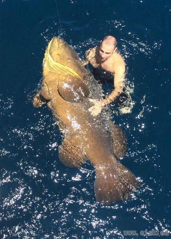美国男子出海意外捕获300磅重石斑鱼