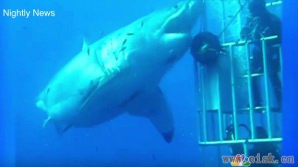 这是镜头拍到过的最大鲨鱼