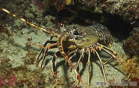 关于龙虾的10件奇葩事