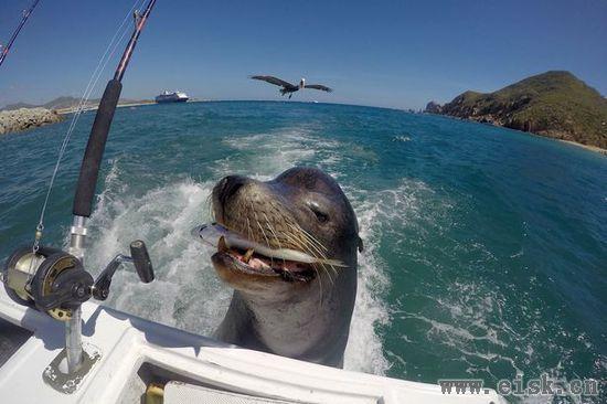 """厚脸皮海狮""""跟踪""""渔船要食物"""