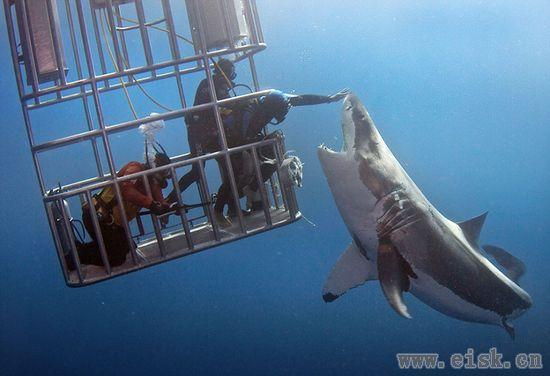 """潜水员与大白鲨""""隔着笼子亲密接触"""""""