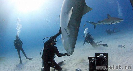 潜水员与虎鲨共舞,还和它跳了一曲优雅的华尔兹