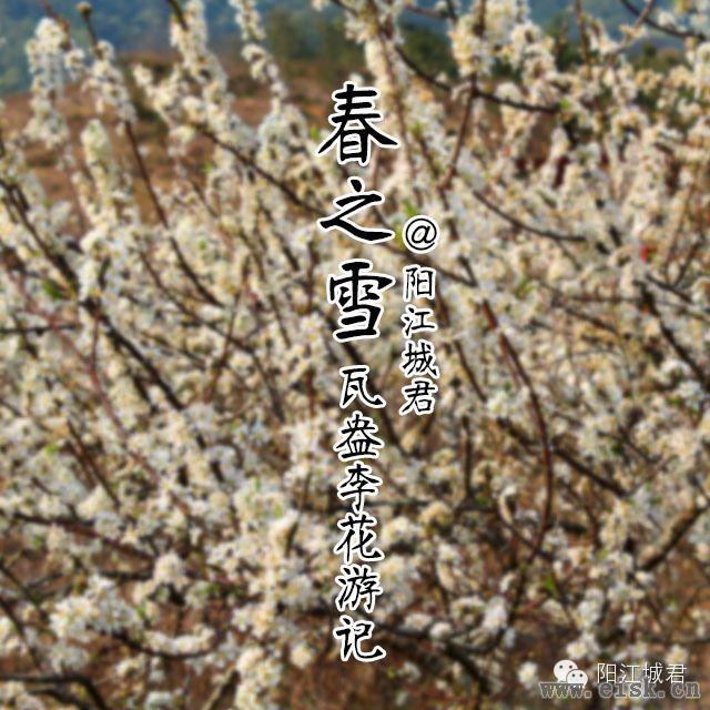 """阳江春季赏""""雪景""""!——阳春合水瓦盎村李花盛开"""