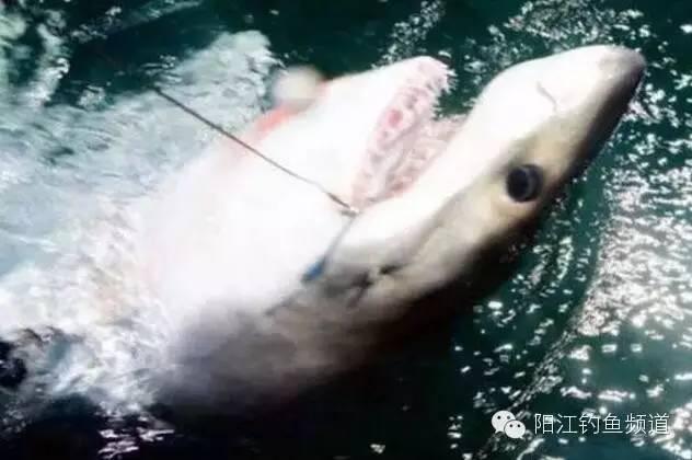 海上钓到条大白鲨,他拍照后毫不犹豫放生了