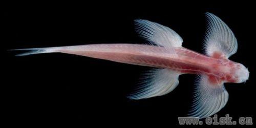 泰国这种鱼有脚不说居然还能走路!