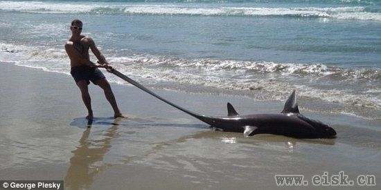 生活在深海的长尾鲨惊现海滩,眼睛有瓷盘那么大!