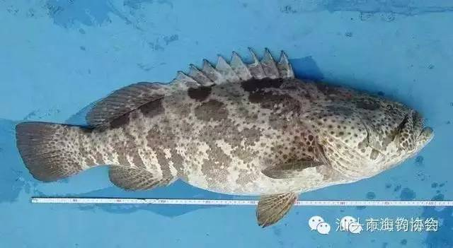 常见的海鱼品种(石斑鱼)