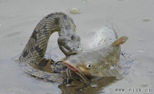 蟒蛇捕获巨大鲶鱼欲活吞,但张开血盆大口后,竟然是这样的结局!