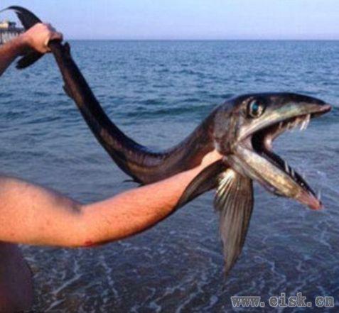 美国海滩现嘴长獠牙恐怖怪鱼 引起轰动竟是食肉帆蜥鱼