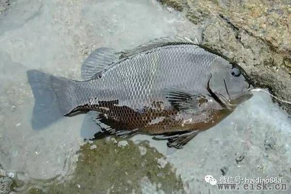 浅谈我在浙江海钓黑毛的体会