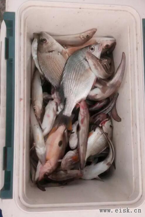 [11-4]鱼都跑来沙滩了,抽到肌肉酸疼