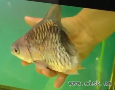 """泰国男子收养罕见""""半条鱼"""",还在鱼缸里养了半年"""