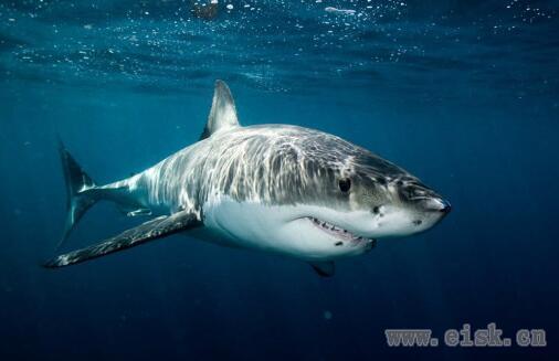 世界仅存的噬人鲨 巨型杀手