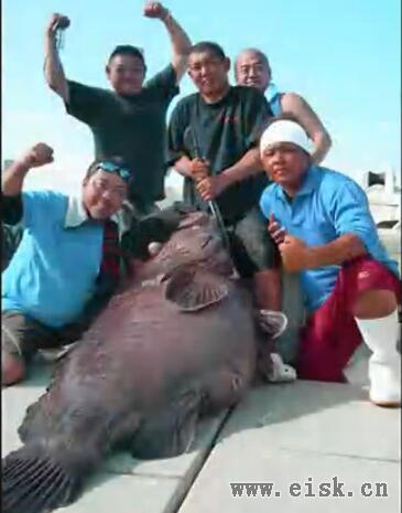 日本ALLIGATOR技研 立钓魂 世界纪录巨大石斑鱼