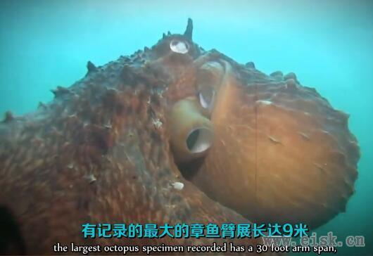远古软体掠夺者 - 章鱼的秘密