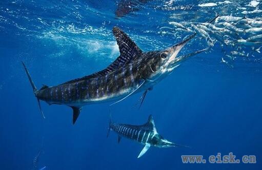马林鱼攻击被钓上的金枪鱼 震撼