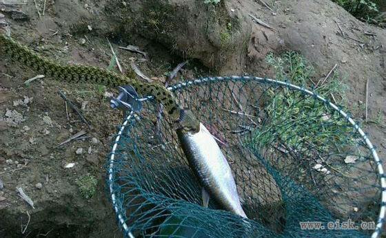 螳螂捕蝉黄雀在后,鱼被蛇抢走了!