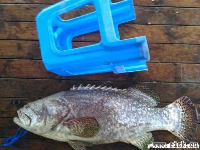 鱼排暴雨天出大物,42斤龙趸,破个人记录