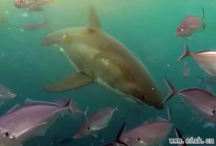 关于大白鲨的10个真相