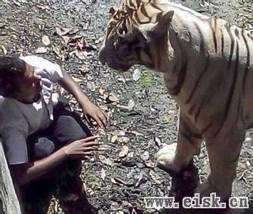 实拍印度男作死翻入虎圈挑逗老虎 被咬死 临死前求饶