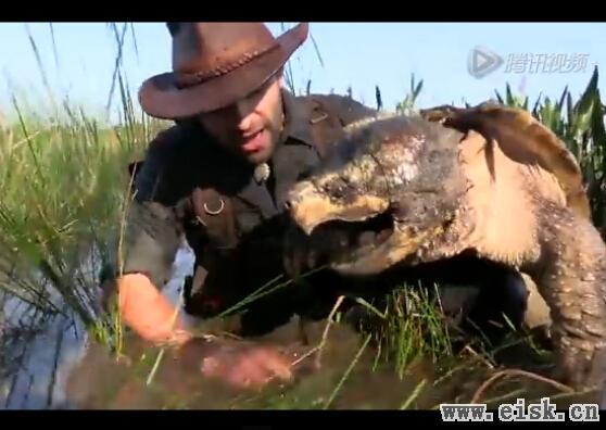 美国男子沼泽中活捉巨型鳄龟 体大如盆嘴利似鹰