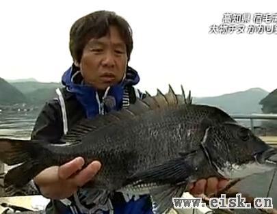 大物チヌを求めて 高知県でド迫力のかかり