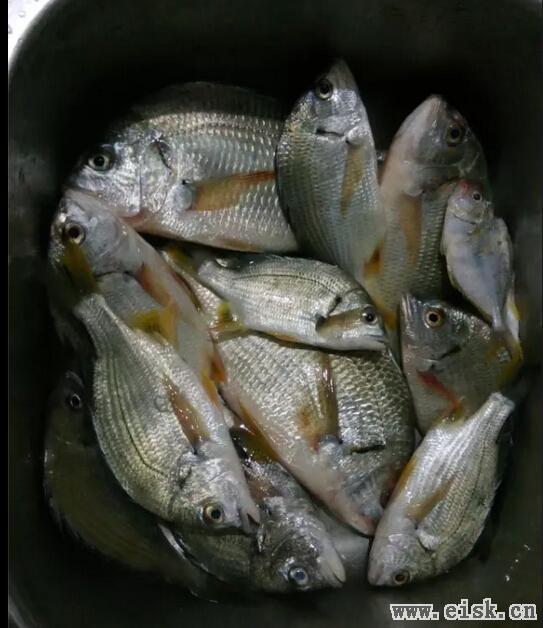 [5-25]上午9点半已经钓完了一天的渔获(31)