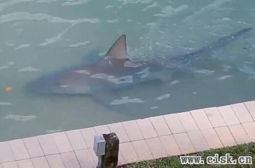 """美国佛罗里达州 """"后院""""发现近3米牛鲨"""
