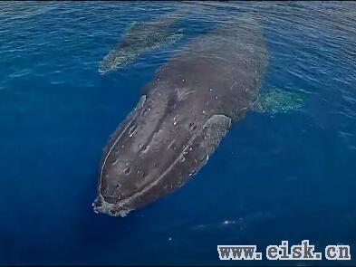 无人机拍摄座头鲸母子:母鲸护幼崽徜徉海洋