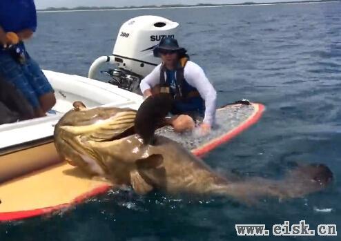 牛人冲浪板上钓获2米巨型石斑鱼 一度被拽入水中