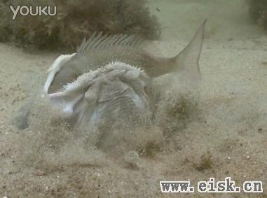 神奇!狡猾占星鱼藏沙中捕食,张血盆大口活吞大鱼!