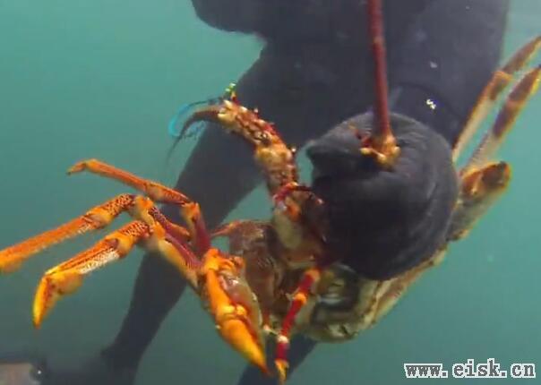 澳洲龙虾大丰收!!