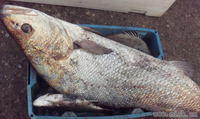 常见海鱼品种(七)
