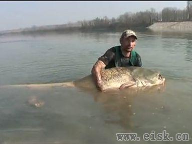 意大利钓获怪物超大鲶鱼